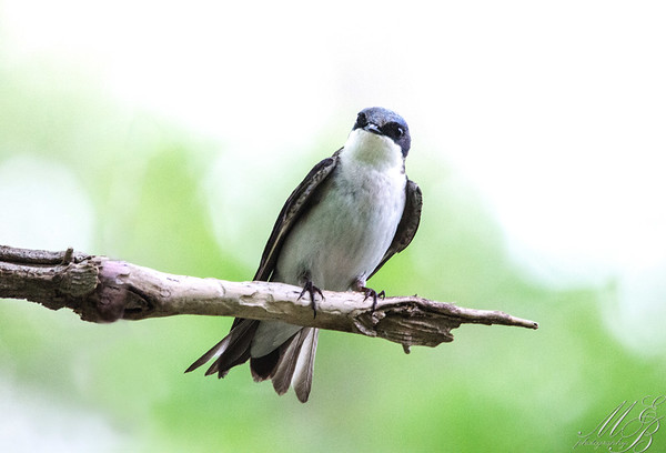 Swifts and Swallows