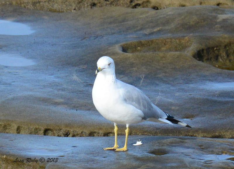 Ring-billed Gull - 12/1/13 - La Jolla Cove