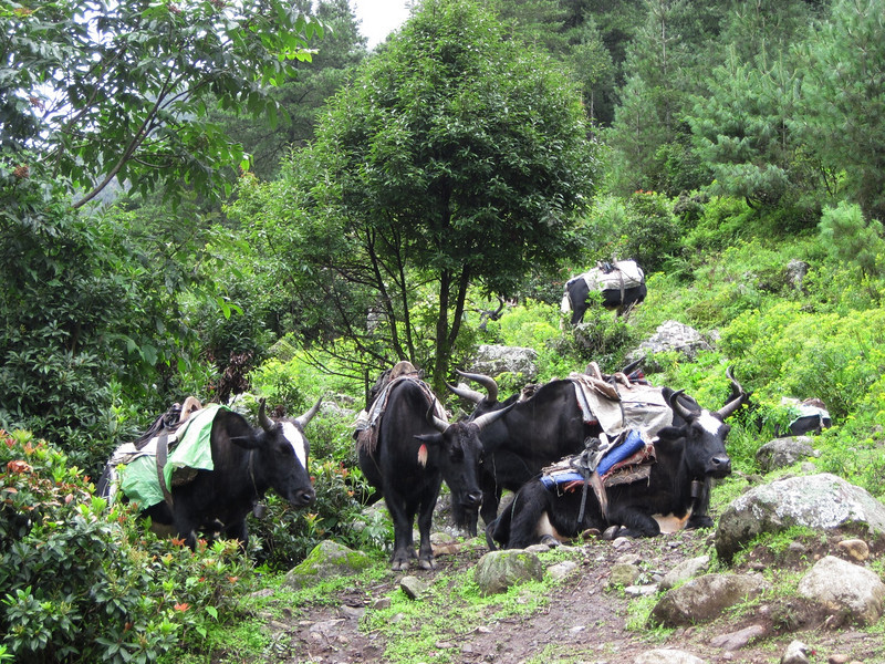 A group of pack dzos - yak/cow hybrids.