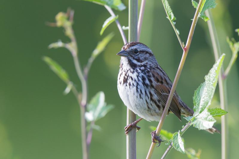 Song Sparrow - Los Altos, CA, USA