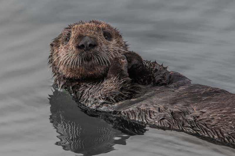 Sea Otter  (Enhydris lutris)