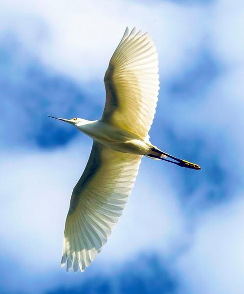 Great Egret aloft