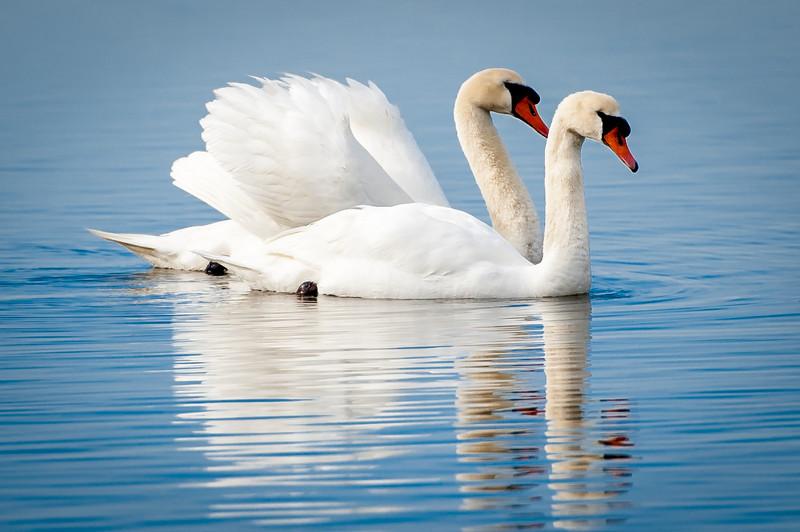 love swans 4x6.jpg