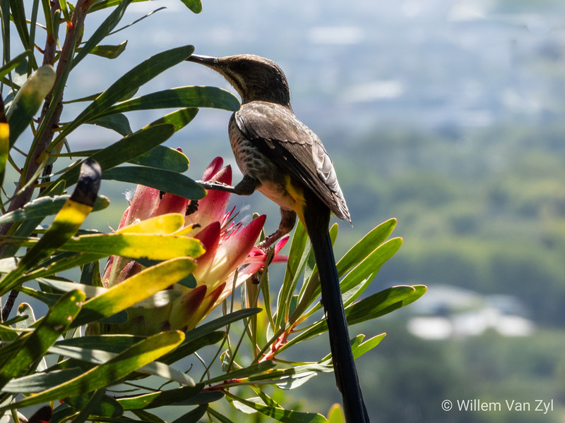 Cape Sugarbird (Promerops cafer) from Kirstenbosch Botanical Gardens, Cape Town