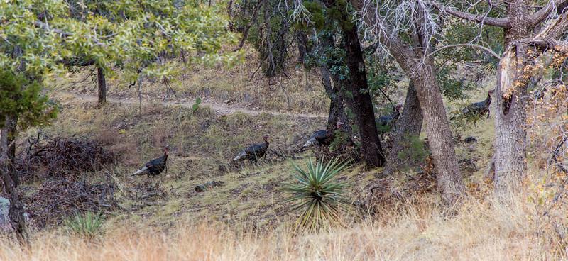 Wild Turkey's