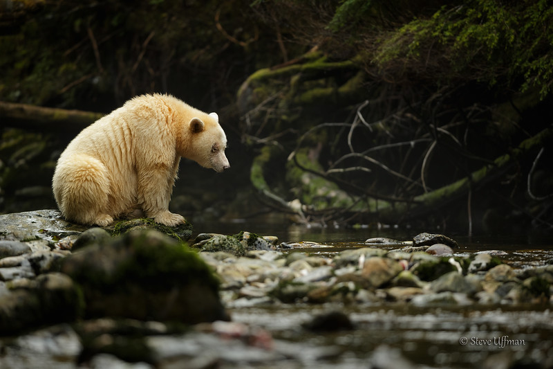 20150930-_G7Q8809Spirit-Bears-British-Columbia - Copy - Copy.jpg