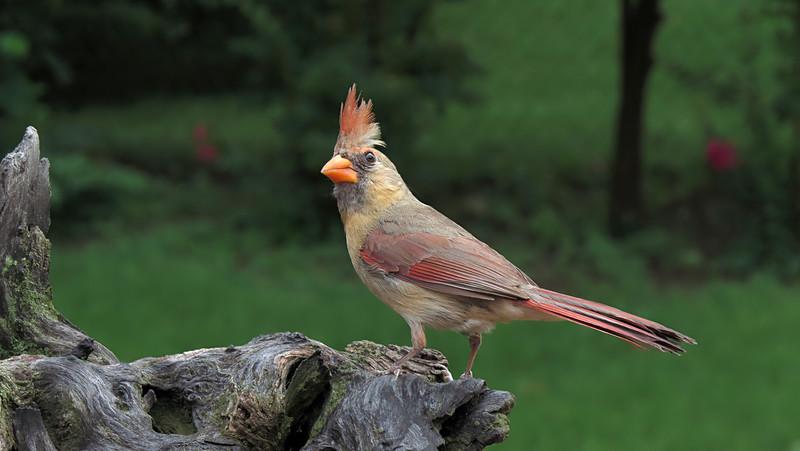 sx50_cardinal_boas_366_1.jpg