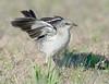 mockingbird hunts for insects,LI,NY