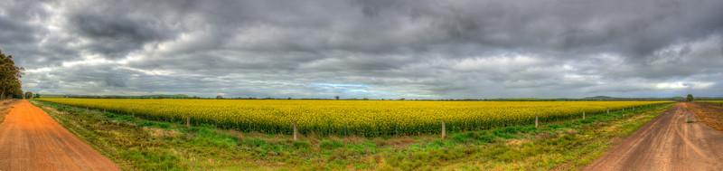 Panorama of flowering canola