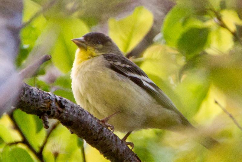 Backyard_Birds-Mar2012-23.jpg