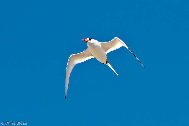 Red-billed Tropicbird at Prince Phillip's Steps, Genovesa, Galapagos, Ecuador (11-25-2011) - 666.jpg