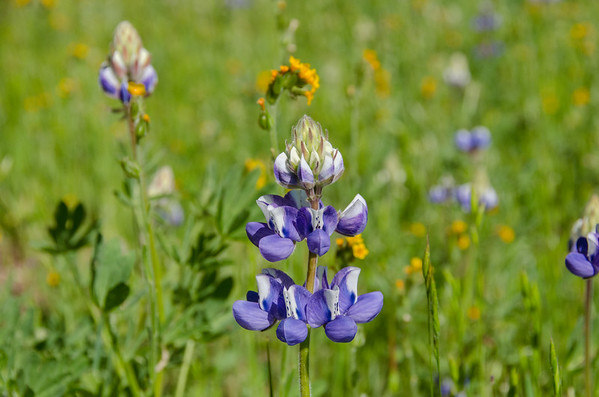 Spring Wildflowers at Rancho Canada del Oro Open Space Preserve