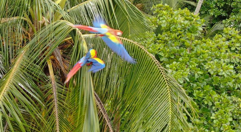 Scartlet macaws (ara macao) guacamaya on a palm tree in Costa Rica