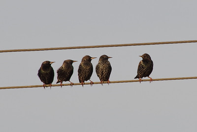 Starlings on a wire, March 2016 (composite photo)