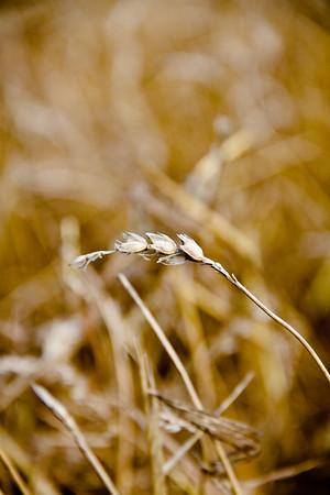 Wheat Harvest - Farming Frederick