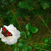Butterfly on a white rose