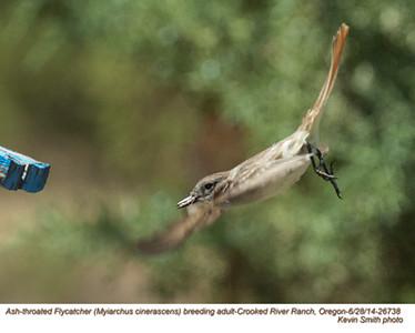 Ash-throated Flycatcher A26738.jpg