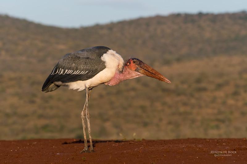 Marabou Stork, Zimanga, South Africa, May 2017-13.jpg