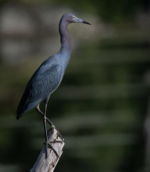 Little Blue Heron posing profile