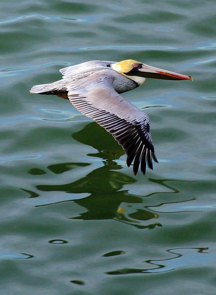 pelicanskimming1.jpg