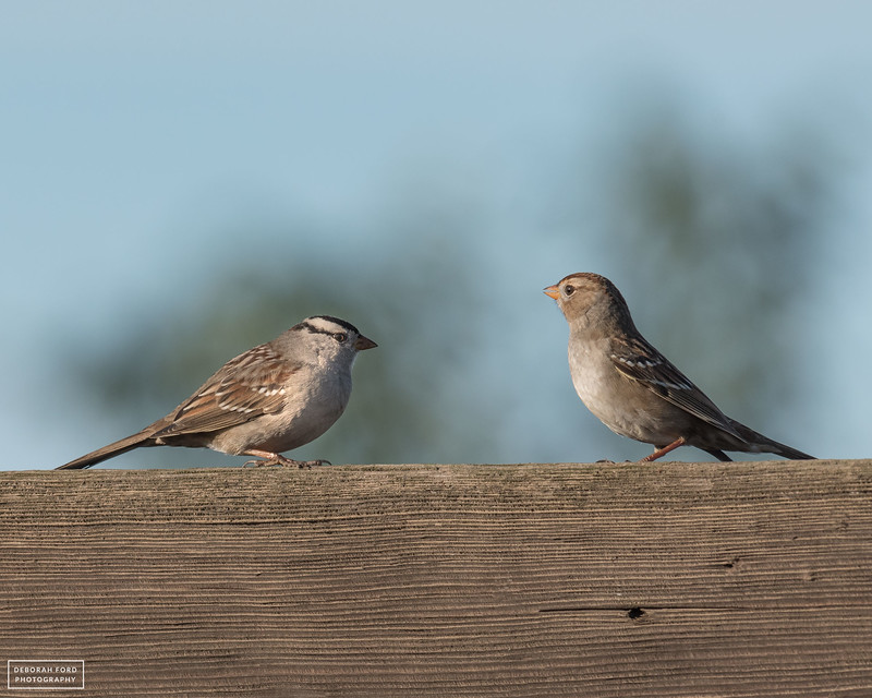 White-crowned Sparrows (Adult and Hatch-year)