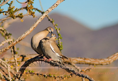 Tender Nibble Shared by White-Winged Dove Pair, LaPaz