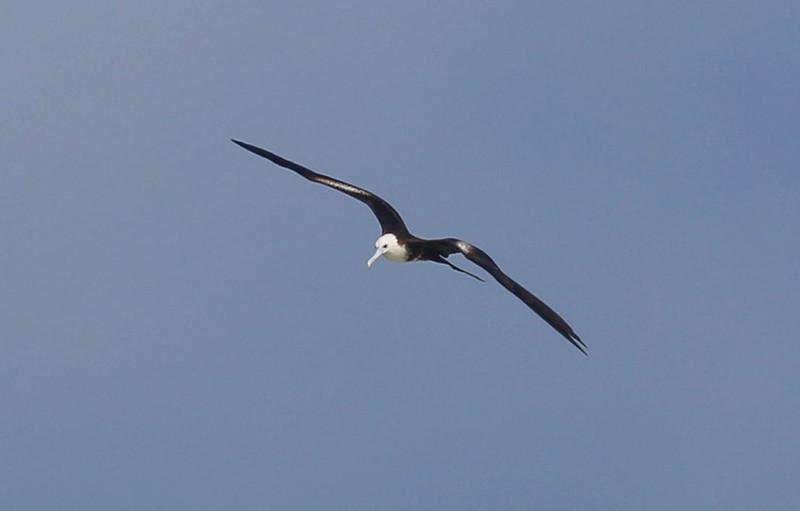 Another juvenile Frigate bird