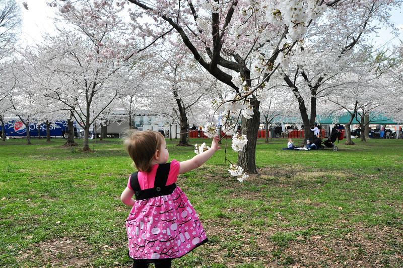 Cherry Blossoms 2014 046.jpg