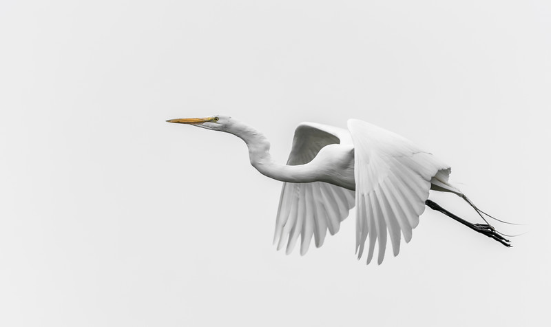 A great egret takes flight