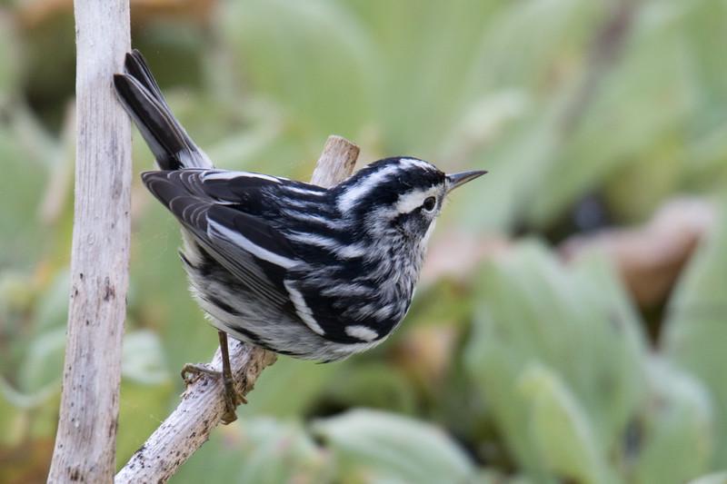 Black and White Warbler So. FL 2020-1.jpg