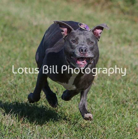Staffordshire Terrier SR31
