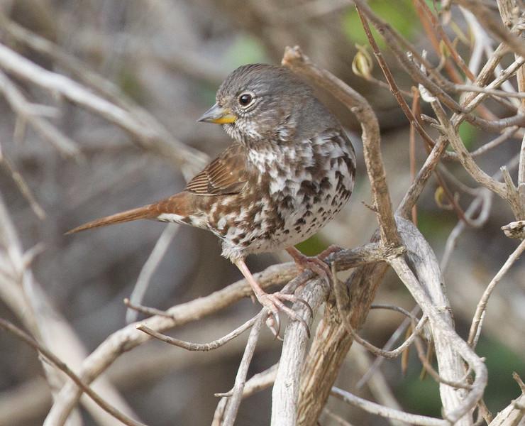 Fox Sparrow  Elfin Forest  2017 12 25-1-2.CR2