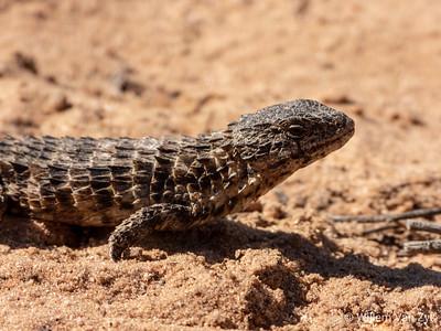 Large-Scaled Girdled Lizard (Cordylus macropholis)