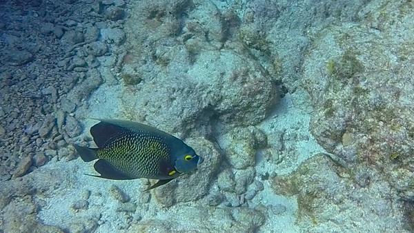 Ciesla-GOPR7444 - KC Angel Fish.jpg