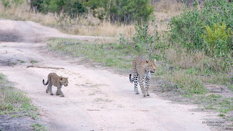 Leopard (Salayexe & cub), Sabi Sands (EP), SA, Sept 2015-3.jpg