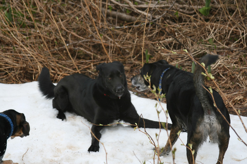 Apollo guards the late spring snow patch that he found from Neo and Pod.