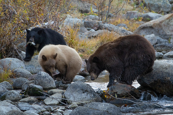 Mother Bear with Blonde and Black Cubs