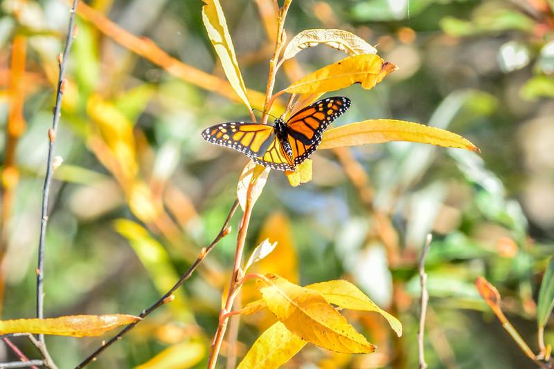 -_Butterfly - 2013-09-16_140 CoyoteCrkTrails.jpg
