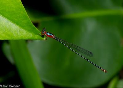 Dragonflies Malaysia - Libellules de Malaysie