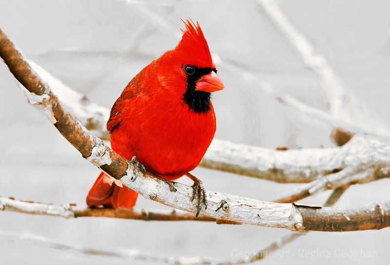 Northern Cardinal Perched in Snow