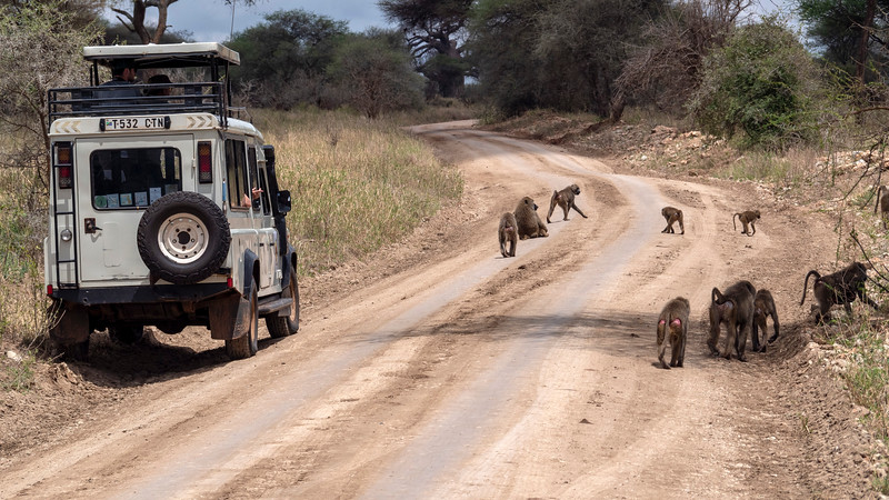 Tanzania-Tarangire-National-Park-Safari-Baboon-03.jpg