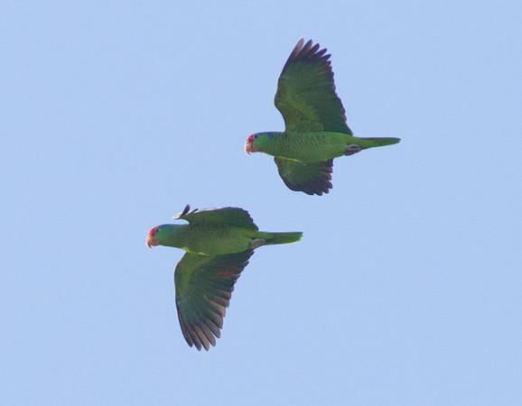 Red-crowned Parrot Amazona viridigenalis