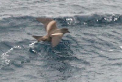 Tristram's Storm Petrel (Oceanodroma tristrami)