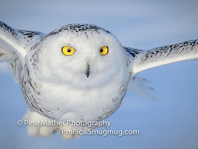 Snowy Owls JAn 12 & 14
