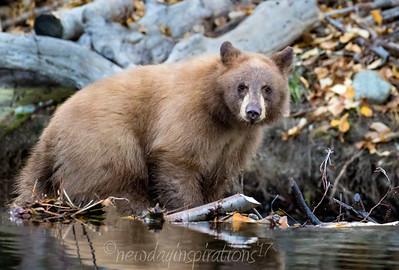 Lake Tahoe Bears