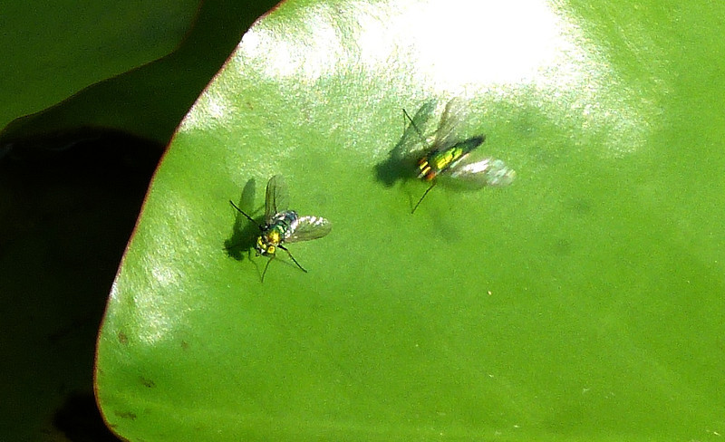 P105Long-leggedFlies648 Sept. 8, 2011  9:38 a.m.  P1050648 One of these Long-legged Flies has red eyes.  LBJ WC.
