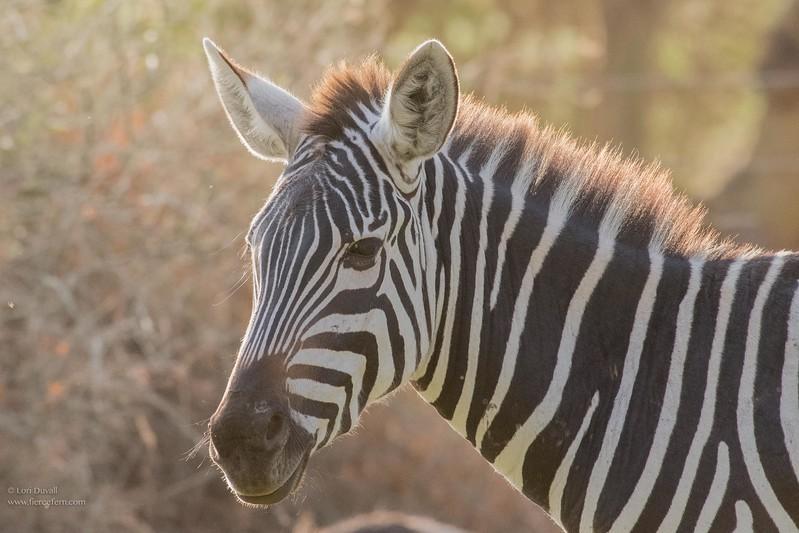 Zebra Afternoon