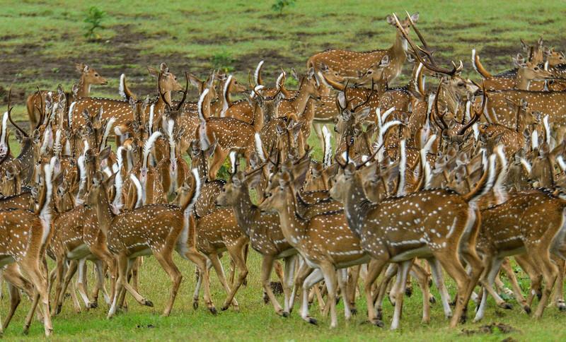 Huddle-Spotted-Deer-Kabini.jpg