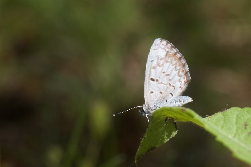azure Spring Azure Celastrina ladon Skogstjarna Carlton Co MN IMG_5734.CR2.jpg
