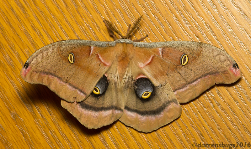 "Polyphemus moth, Antheraea polyphemus, named for the Cyclops from Homer's ""Odyssey."" (Iowa, USA)"